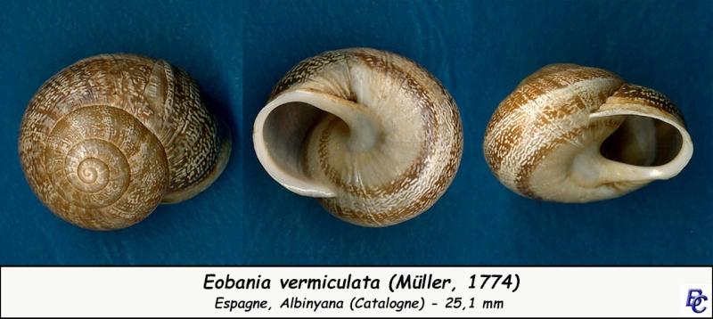 Eobania vermiculata (Müller, 1774) - Page 3 Eobani15