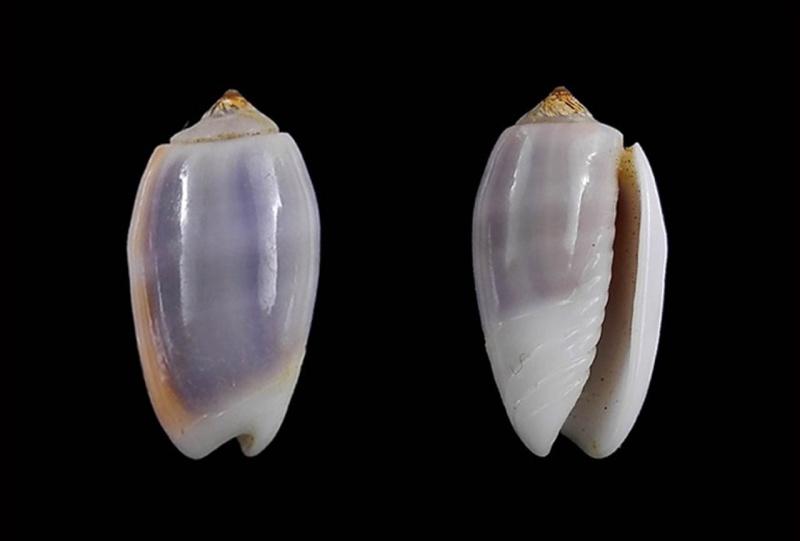 Galeola carneola f. violacea (Prior, 1975) voir Galeola carneola (Gmelin, 1791) Galeol11