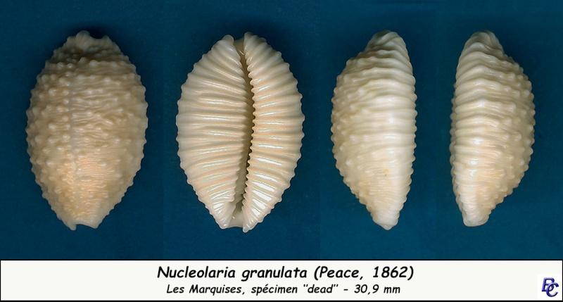 Nucleolaria granulata - (Pease, 1862) Granul16