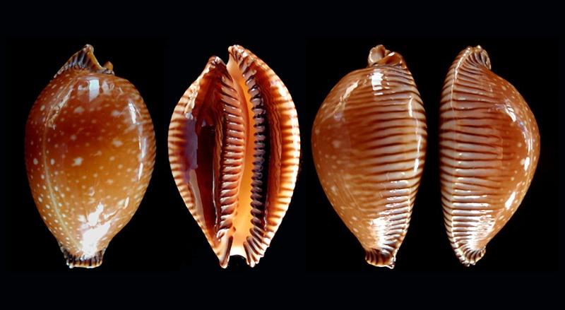 Perisserosa guttata surinensis - (Raybaudi, 1978) Guttat10