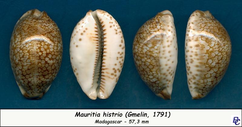 Mauritia histrio - (Gmelin, 1791) - Page 3 Histri10