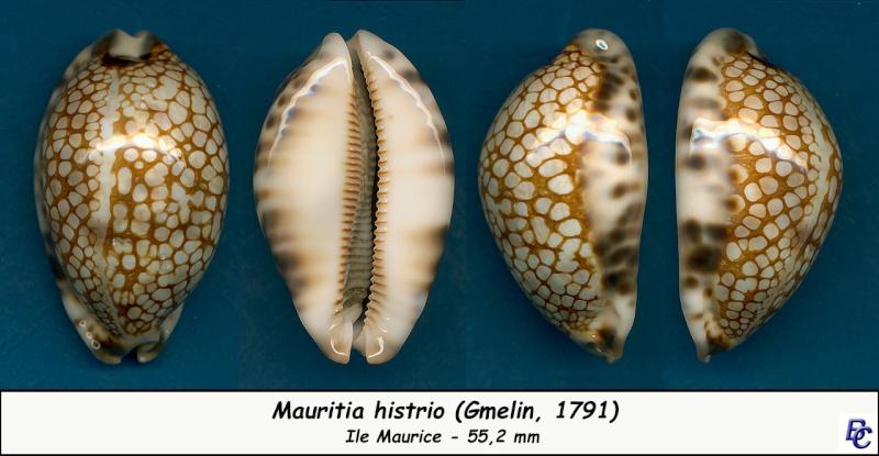 Mauritia histrio - (Gmelin, 1791) - Page 3 Histri11