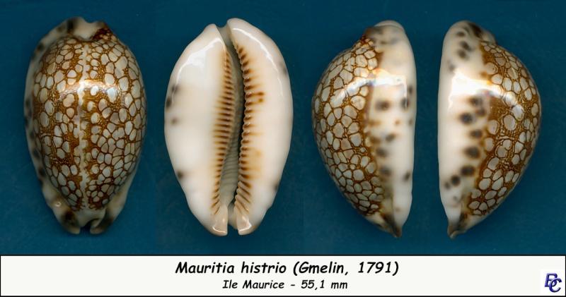 Mauritia histrio - (Gmelin, 1791) - Page 3 Histri12