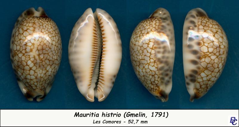 Mauritia histrio - (Gmelin, 1791) - Page 3 Histri13