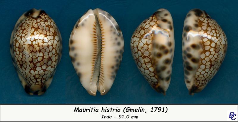 Mauritia histrio - (Gmelin, 1791) - Page 3 Histri14