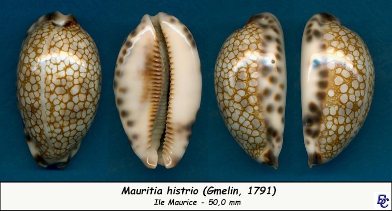 Mauritia histrio - (Gmelin, 1791) - Page 3 Histri15