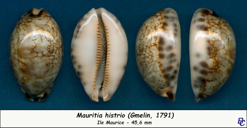Mauritia histrio - (Gmelin, 1791) - Page 3 Histri16