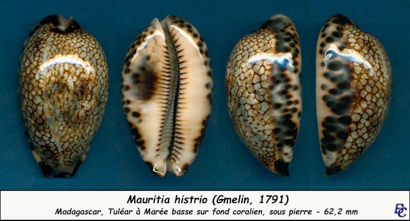 Mauritia histrio - (Gmelin, 1791) - Page 3 Histri17
