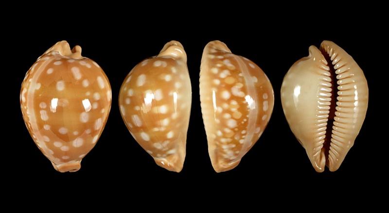 Callistocypraea leucodon leucodon - (Broderip, 1828) - Page 3 Leucod11