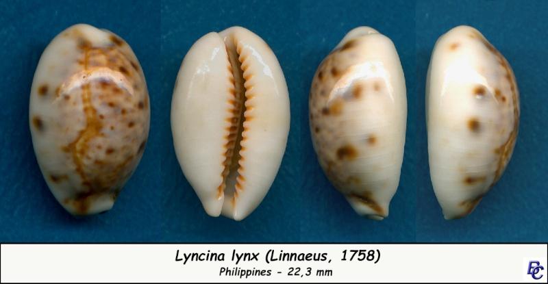 Lyncina lynx - (Linnaeus, 1758) - Page 3 Lynx_210