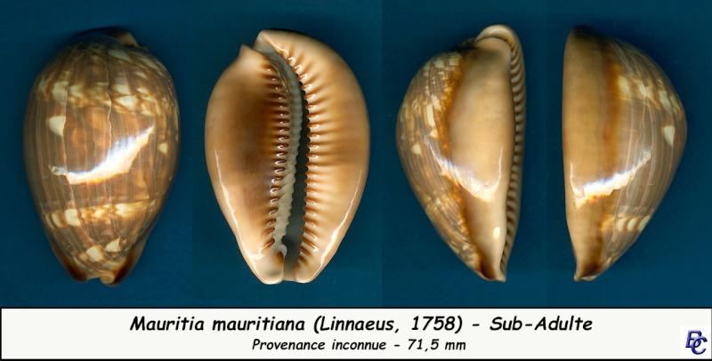 Mauritia mauritiana - (Linnaeus, 1758) - Page 4 Maurit12