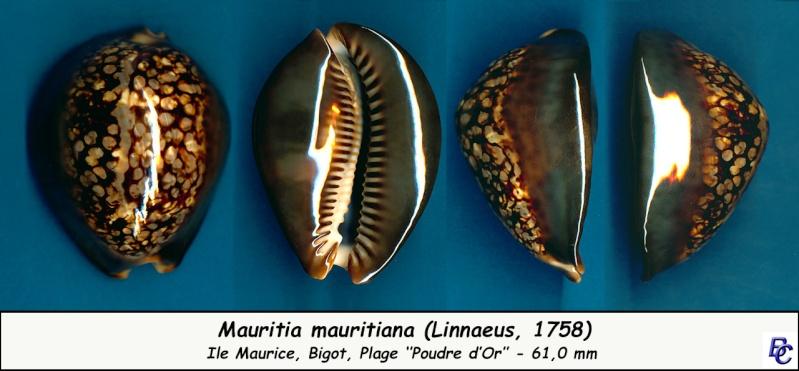 Mauritia mauritiana - (Linnaeus, 1758) - Page 6 Maurit15