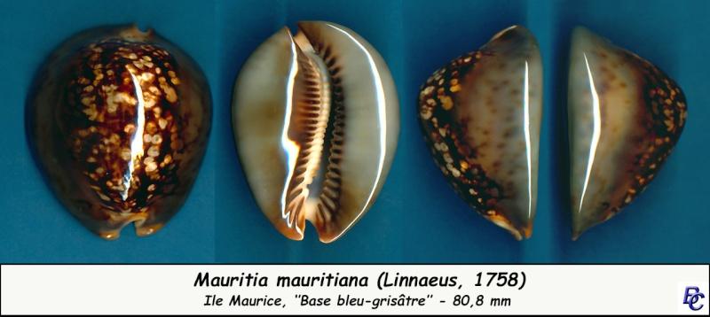 Mauritia mauritiana - (Linnaeus, 1758) - Page 6 Maurit17