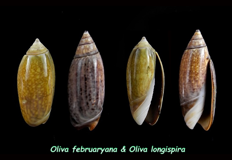 Oliva februaryana (Falconieri, 2008) Oliva_16
