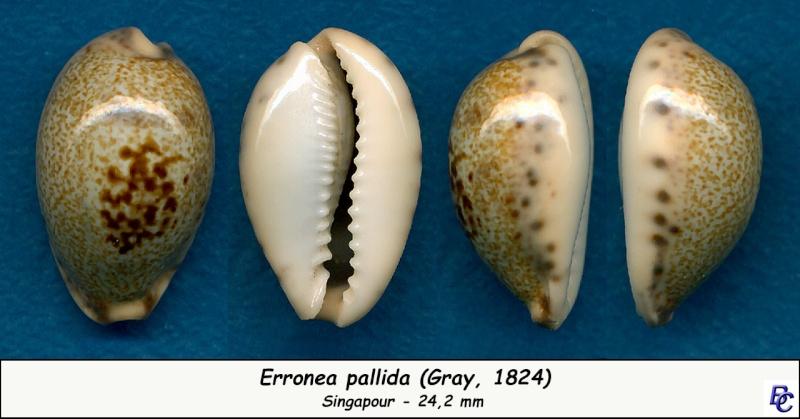 Erronea pallida - (J.E. Gray, 1824) Pallid10
