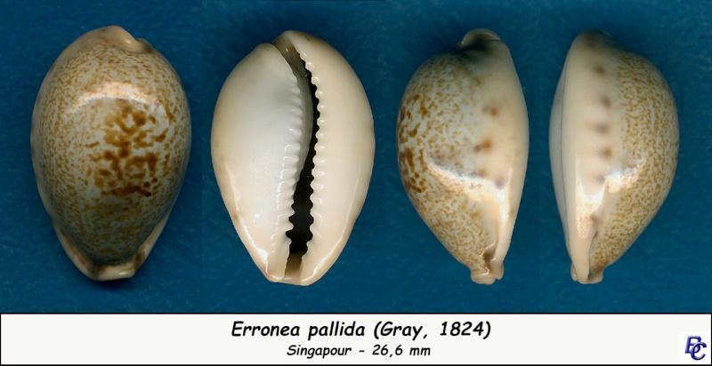Erronea pallida - (J.E. Gray, 1824) Pallid11