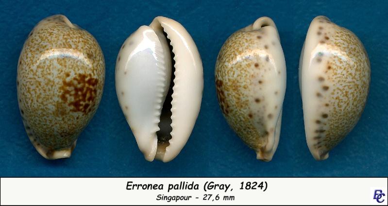 Erronea pallida - (J.E. Gray, 1824) Pallid12