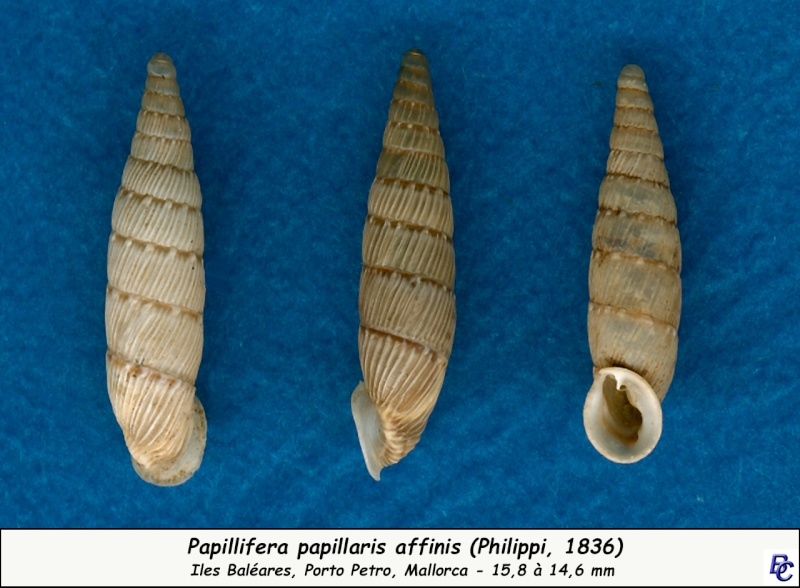 Papillifera papillaris affinis (Philippi, 1836) Papill10