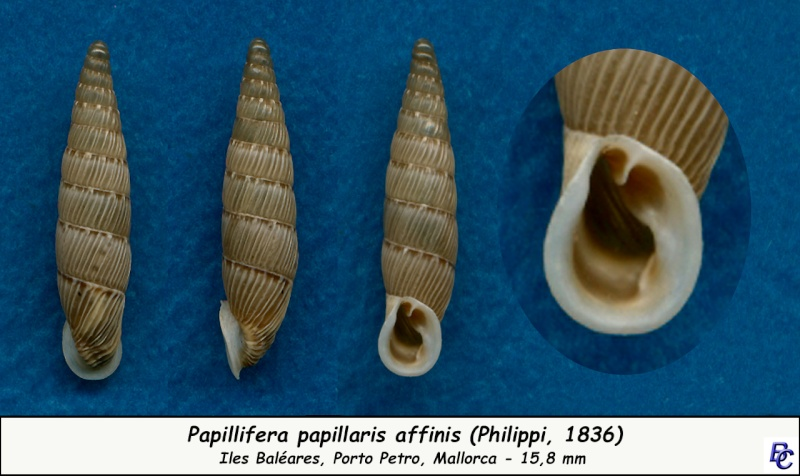 Papillifera papillaris affinis (Philippi, 1836) Papill11
