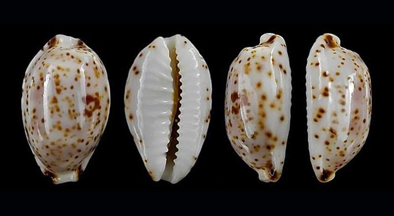 Bistolida piae - Lorenz & Chiapponi, 2005 Piae_110