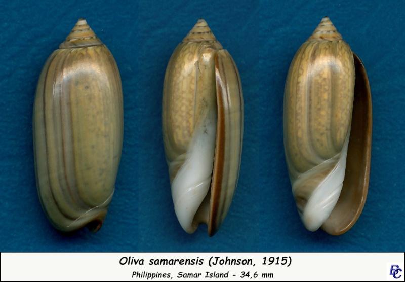 Oliva samarensis (Oliva) - Johnson, 1915 Samare10