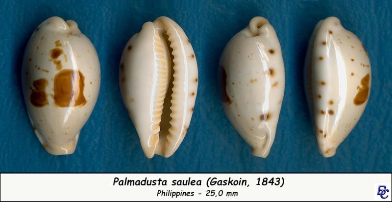Palmadusta saulae - (Gaskoin, 1843) Saulae10