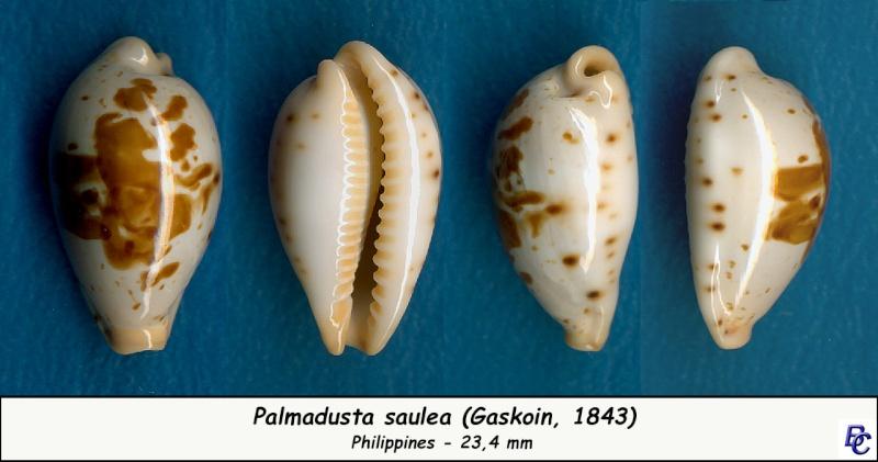 Palmadusta saulae - (Gaskoin, 1843) Saulae11