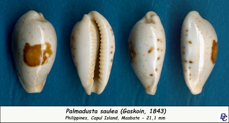 Palmadusta saulae - (Gaskoin, 1843) Saulae13