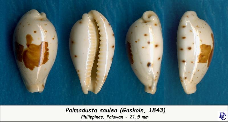 Palmadusta saulae - (Gaskoin, 1843) Saulae14