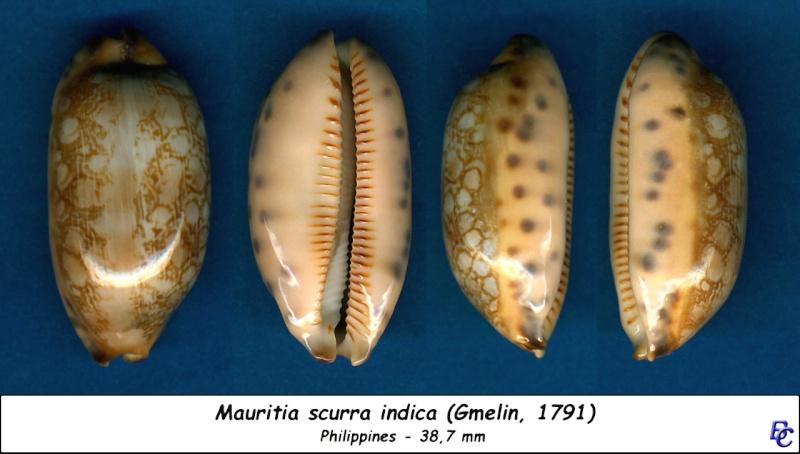 Mauritia scurra scurra - (Gmelin, 1791)  Scurra12