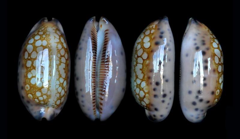 Mauritia scurra scurra - (Gmelin, 1791)  Scurra14