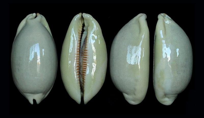 Mauritia eglantina griseoformis  -  (Duclos, 1833) Scurra15