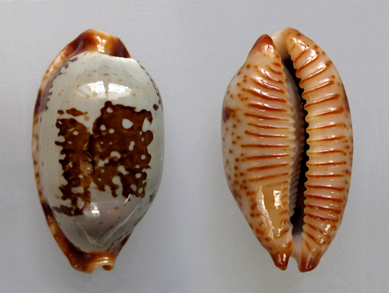 Bistolida stolida rubiginosa - (Gmelin, 1791) Stolid10