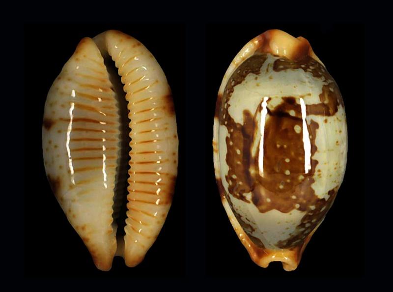 Bistolida stolida rubiginosa - (Gmelin, 1791) Stolid11