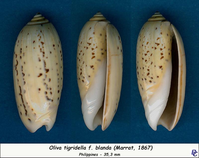 Oliva tigridella f. blanda (Marrat, 1867) Tigrid11