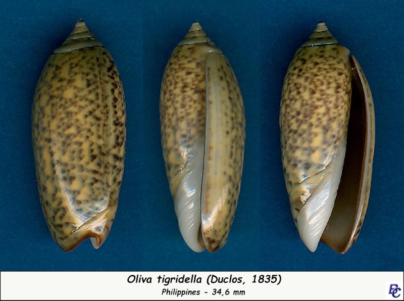 Oliva tigridella (Duclos, 1835) Tigrid14