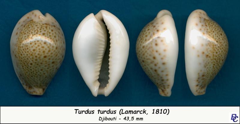 Naria turdus - (Lamarck, 1810) - Page 3 Turdus10