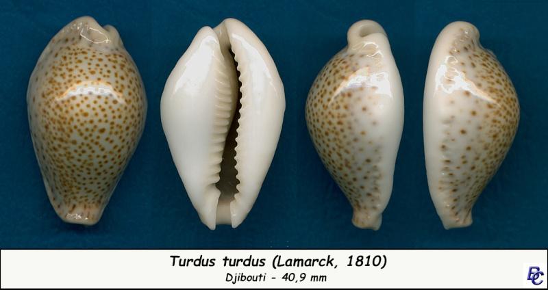 Naria turdus - (Lamarck, 1810) - Page 3 Turdus11