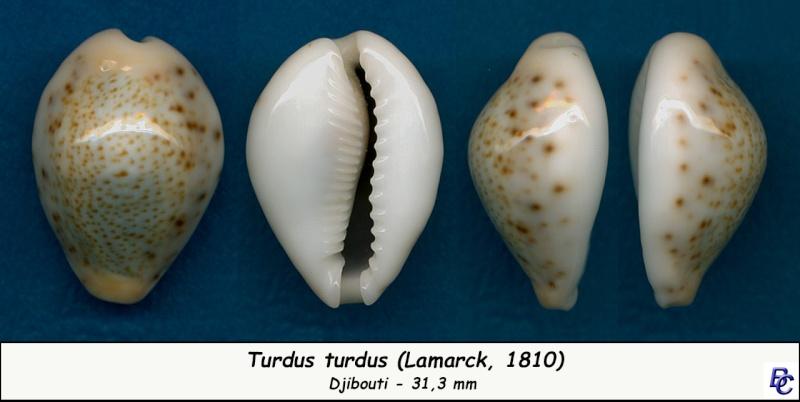 Naria turdus - (Lamarck, 1810) - Page 3 Turdus13
