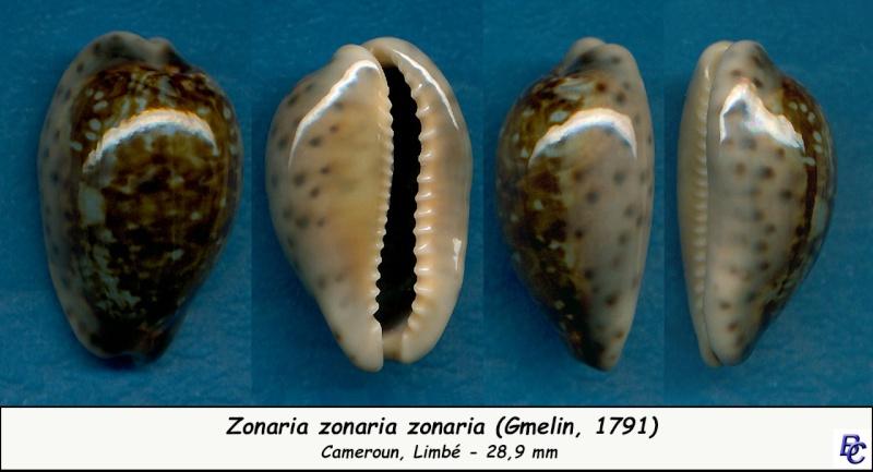 Zonaria zonaria zonaria - (Gmelin, 1791) - Page 2 Zonari17