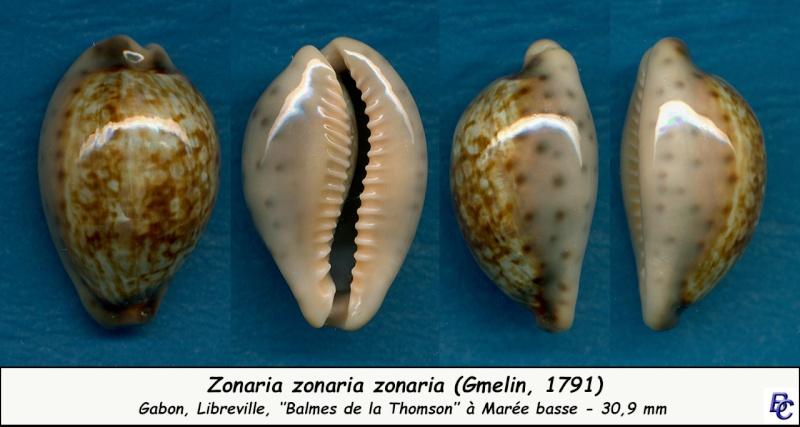 Zonaria zonaria zonaria - (Gmelin, 1791) - Page 2 Zonari18