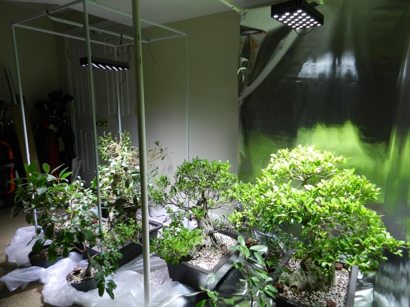 Indoor Bonsai under LED lights. - Page 10 Dscn0013