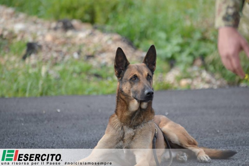 Animaux soldats - Page 5 8167