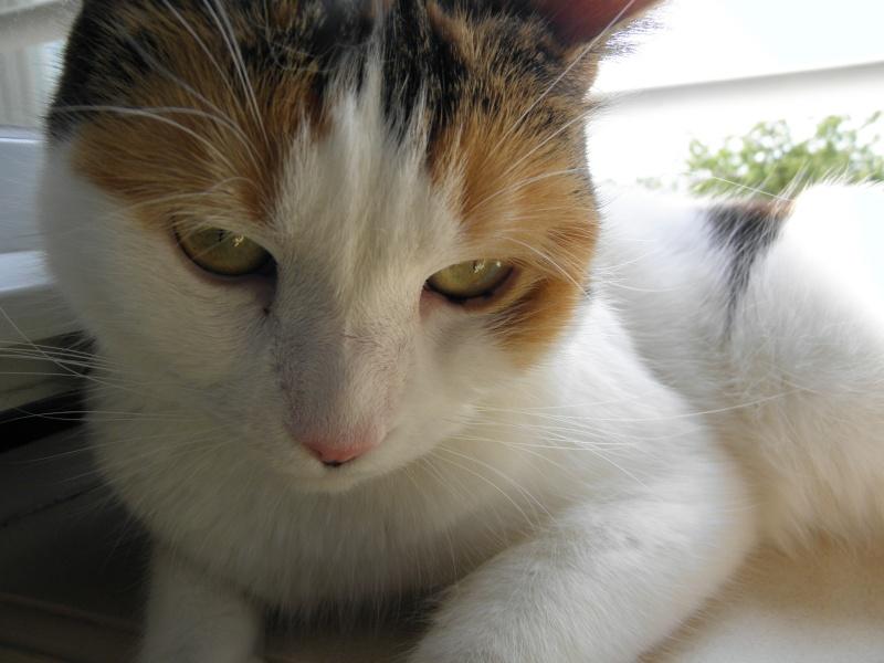 Havana, rebaptisée Chihiro, jolie tricolre environ 2 ans du côté de Limoges - Page 5 P7161613