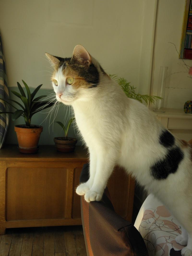 Havana, rebaptisée Chihiro, jolie tricolre environ 2 ans du côté de Limoges - Page 5 P8031610