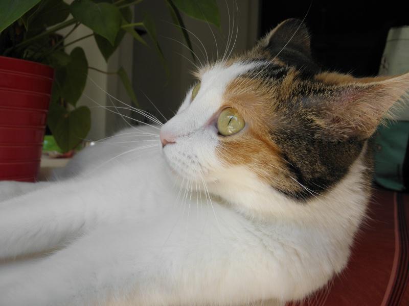 Havana, rebaptisée Chihiro, jolie tricolre environ 2 ans du côté de Limoges - Page 5 P8031616