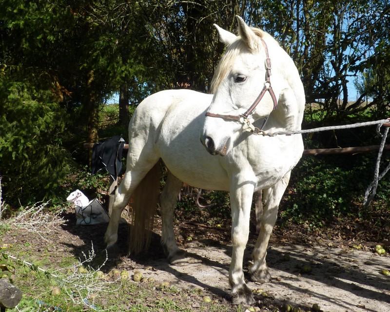 CARESSE – OI (SF x Percheron) – née en 1990 - décédée chez son propriétaire, avant adoption   2015_910