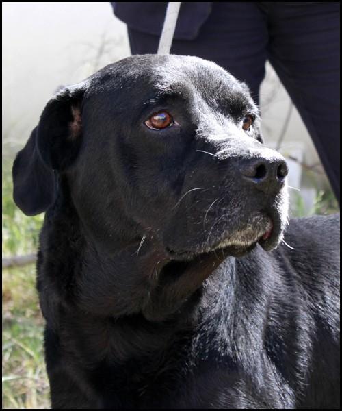 LINO croisé Labrador _mg_2712