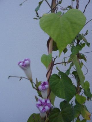Balcons, Terrasses et Jardins...Plantes et Aménagements... P1060313