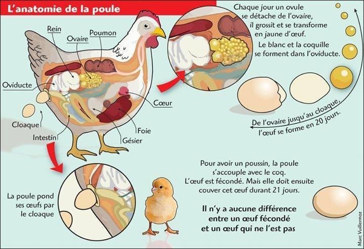 [anatomie-poule] Petit schéma intéressant  Poule_10